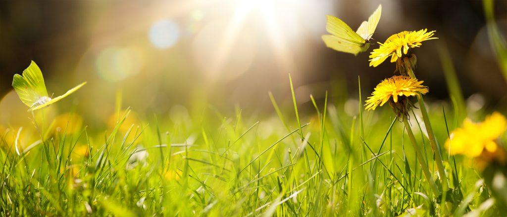 summer scene of grass, dandelions, and yellow butterflies